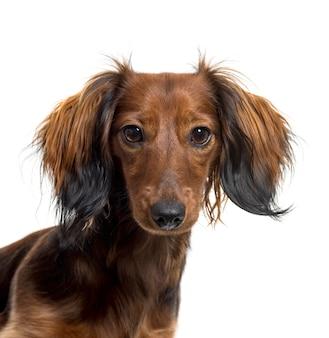 ダックスフント犬のクローズアップ