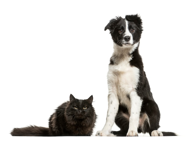 Сидящая собака бордер-колли и лежащий кот
