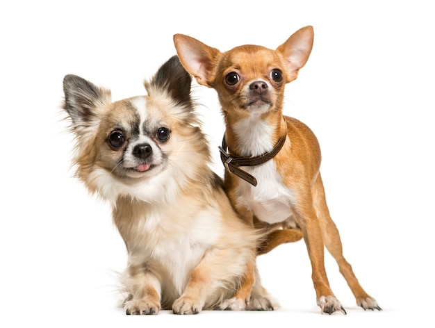 Собаки чихуахуа сидят вместе