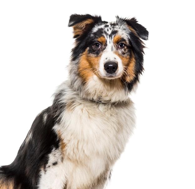 首輪を身に着けているオーストラリアンシェパードの犬のクローズアップ