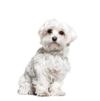 Мальтийская собака сидит