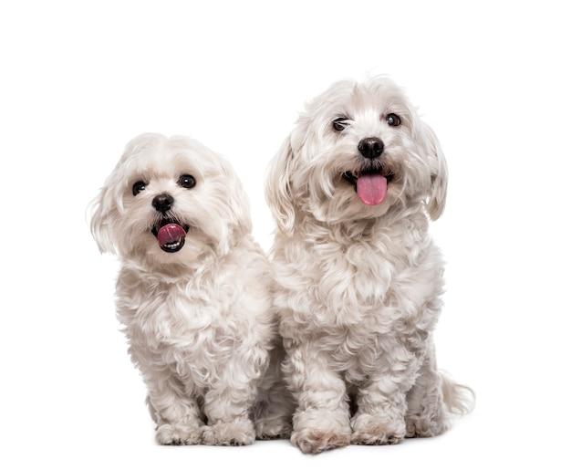 Мальтийские собаки сидят