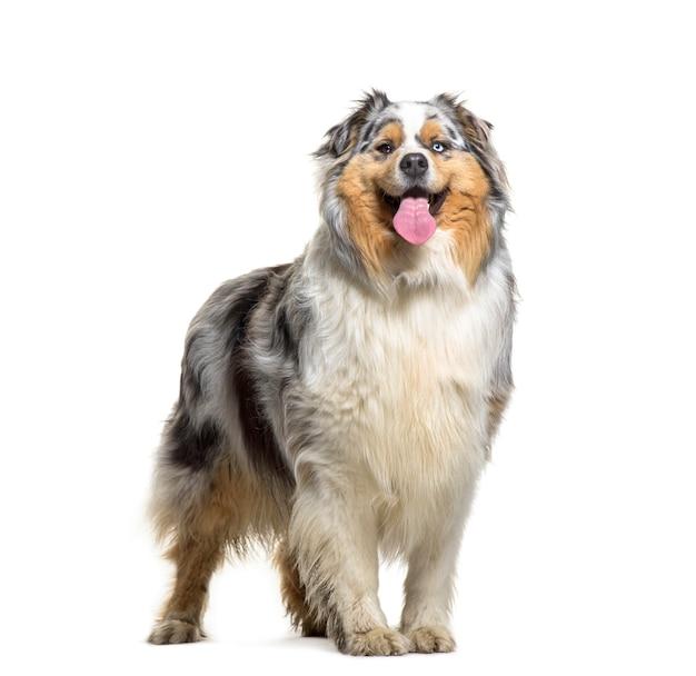 立っているオーストラリアンシェパードの犬のあえぎ