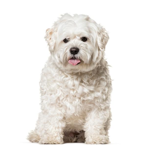 Мальтийская собака сидит и тяжело дышит
