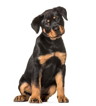 座っているロットワイラー犬