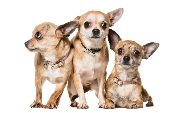 Собаки чихуахуа стоя и лежа