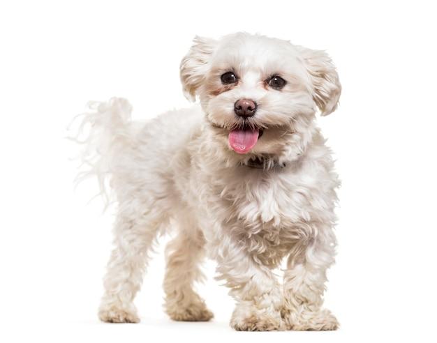 Мальтийская собака стоя и тяжело дыша