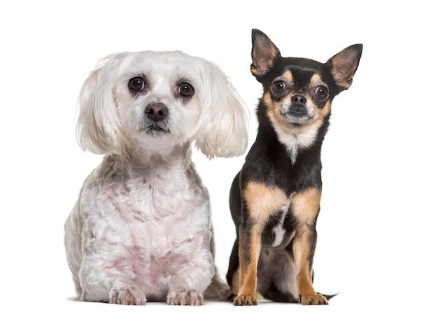 Стоят чихуахуа и мальтийские собаки