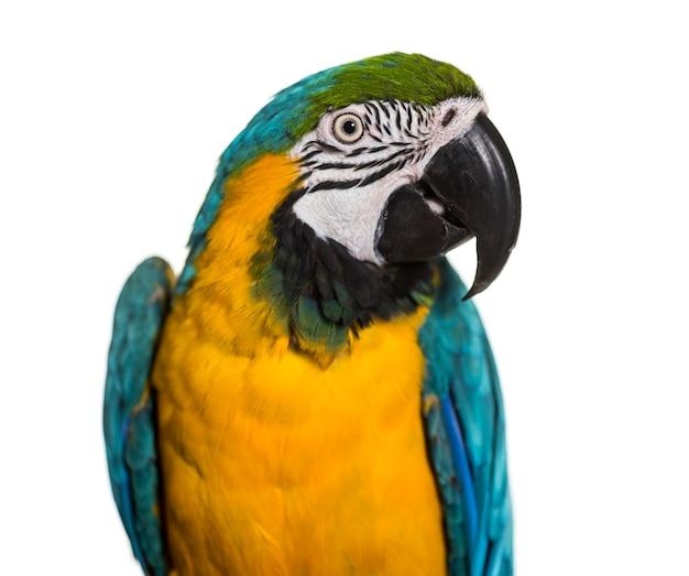 青と黄色のコンゴウインコのクローズアップ