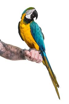 Сине-желтая ара на руке человека