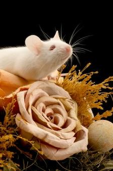分離された白いマウス