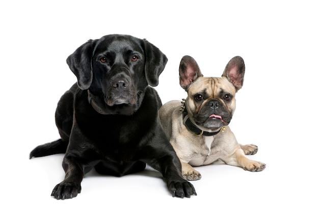 Французский бульдог и лабрадор. портрет собаки изолированный