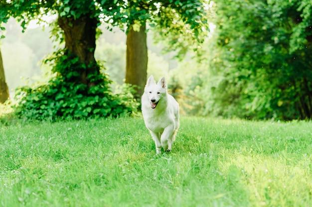 Белая швейцарская овчарка на прогулке