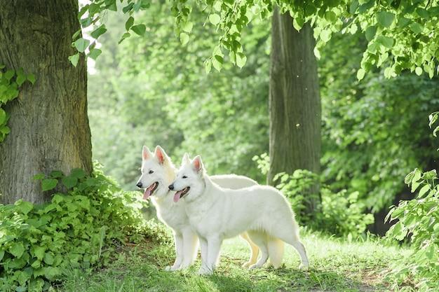 自然の中の散歩に白いスイスの羊飼いの犬の群れ。