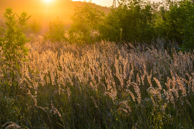 Земледелие, поле сахарного тростника на заходе солнца. сахарный тростник - трава семейства злаковых.