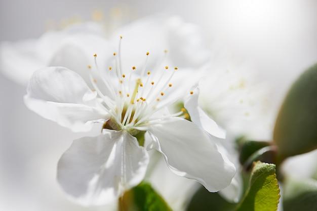 Вишневый цвет весной для фона или копией пространства для текста
