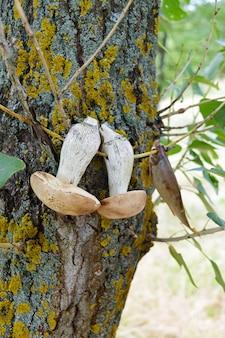 白いキノコは木の枝で乾燥されます。採れたてのキノコ。森の植物。キャンプ。自然で休憩。セレクティブフォーカス。