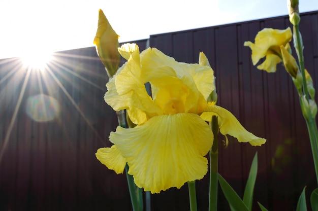 庭の美しいアイリス茂み。アイリスの黄色い花のクローズアップ、夕日の光線。春夏の花。