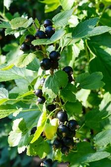 茂みに熟した黒スグリの房。夏の庭の果実。晴れた日。