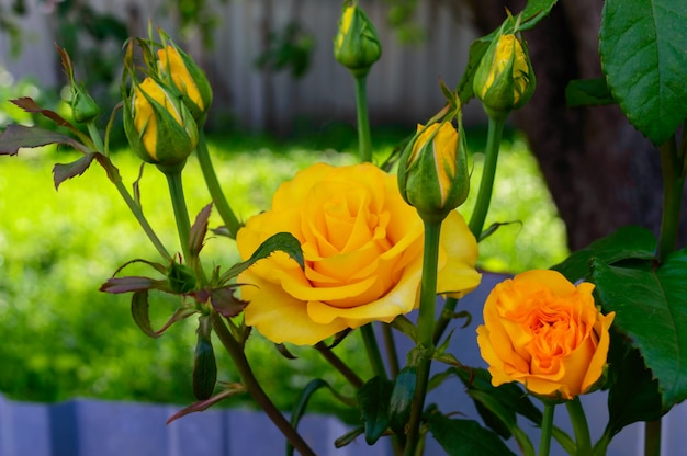 Яркие желтые розы и нераскрытые бутоны на природе