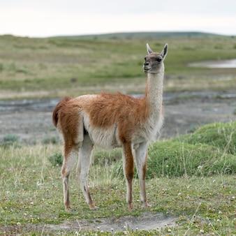 グアナコ(ラマ・グアニコエ)、トーレス・デル・ペイン国立公園、パタゴニア、チリ