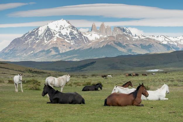 フィールド、トレス・デル・ペイン国立公園、パタゴニア、チリの馬