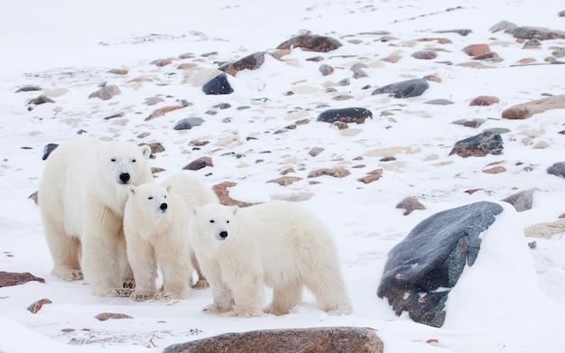 母北極熊と雪の覆われたフィールドに立つ子猫