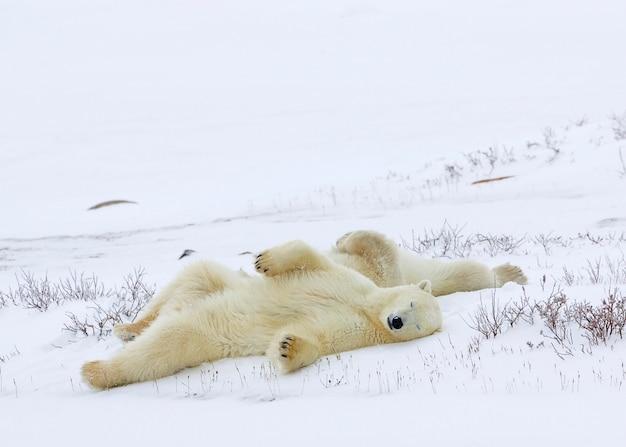 雪で覆われたフィールドで眠っているポーラークマ