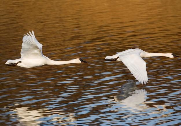 静かな湖の水上を飛んでいる白鳥