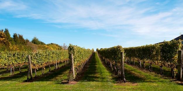 ハンプトンズのブドウ園
