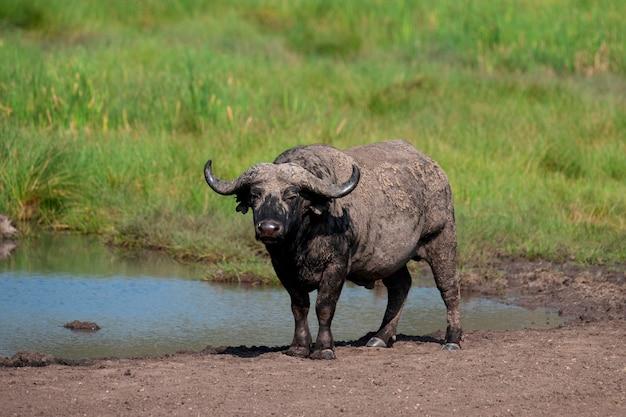 Живая природа буйвола в кении