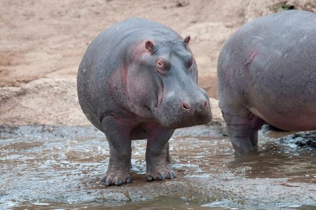 ケニアのカバの野生動物
