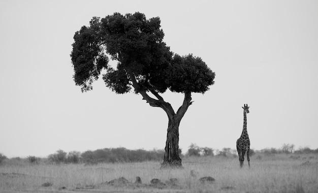 ケニアの木でキリン