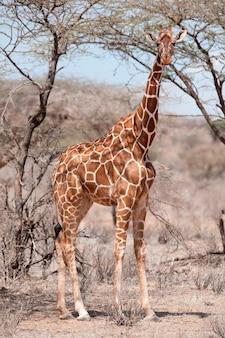 ケニアのキリン野生動物