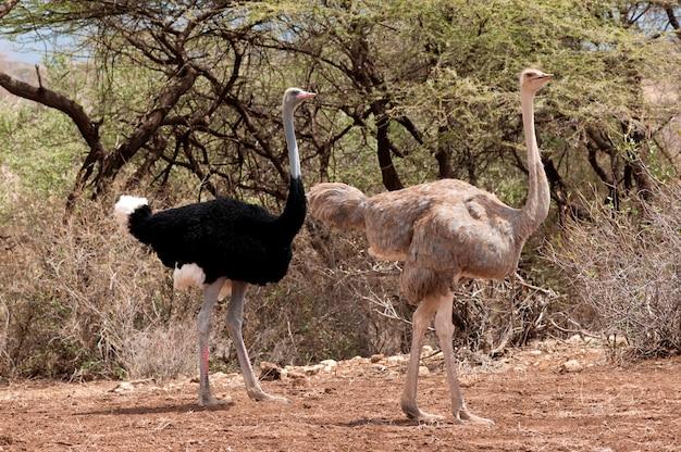 Страусиная дикая природа в кении