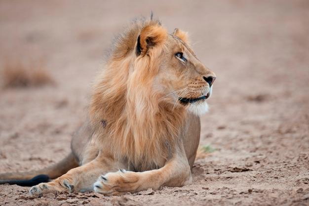 ケニアのライオン野生動物