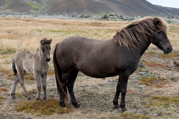 Исландские лошади, кобыла и жеребенок на пастбище