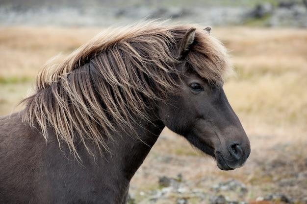 牧草地の茶色のアイスランドの馬の頭
