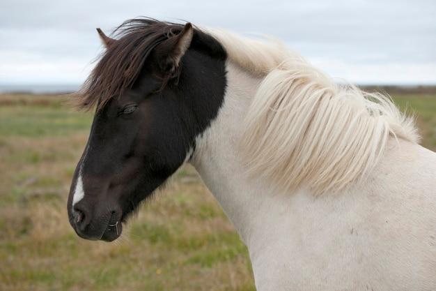 白いアイスランドの馬、黒い頭と白い炎