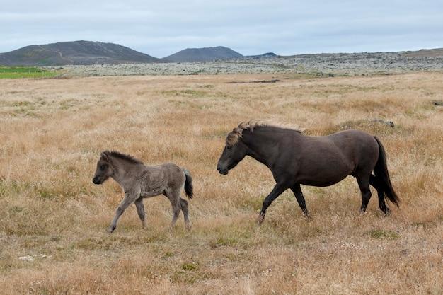 茶色のアイスランドの馬、牝馬、仔馬、牧草地の遠い山々