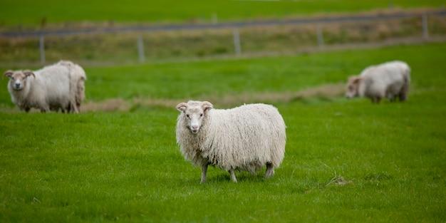 牧草地のウールアイスランド羊