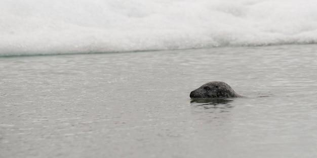 雪のエッジウォーターで灰色のシールの水泳