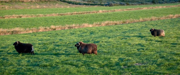 牧草地のアイスランドの羊