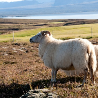 牧草地の牧草地で羊毛のアイスランド羊