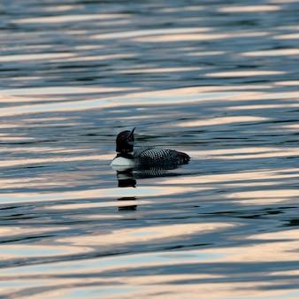 レイク・オブ・ザ・ウッズ、オンタリオ州の水の上のルーン