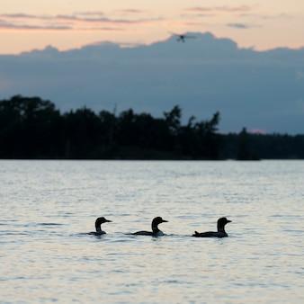 レイクオブザウッズ、オンタリオ州の湖のアヒルの列