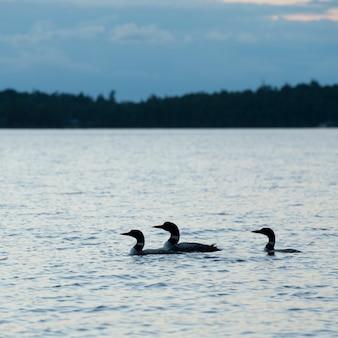 オンタリオ州レイク・オブ・ザ・ウッズの夕暮れの水上アヒル