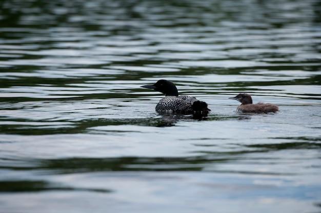湖の森、オンタリオ州の水の中で彼女のアヒルと母娘