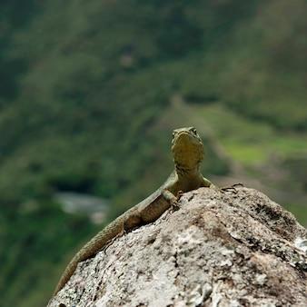 Крупный план ящерицы на скале, мачу-пикчу, куско, перу