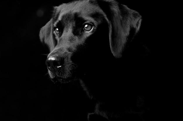黒、背景に隔離された犬のスタジオの肖像